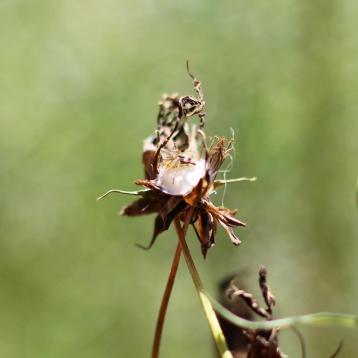 egg sac spider